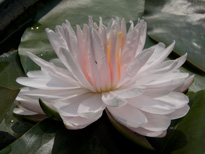 Nymphaea Lily Pons (water lily)