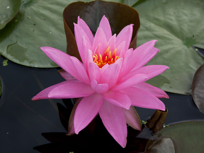 Nymphaea Maréchal Pétain (water lily)