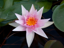 Nymphaea Marguerite Laplace (water lily)