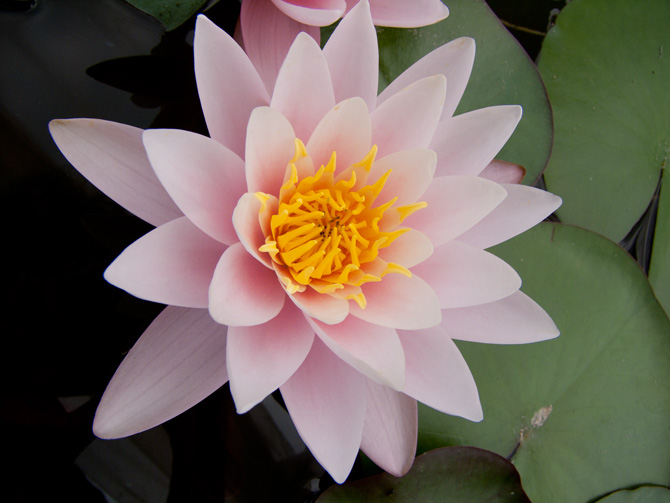 Nymphaea Marliacea Carnea (water lily)