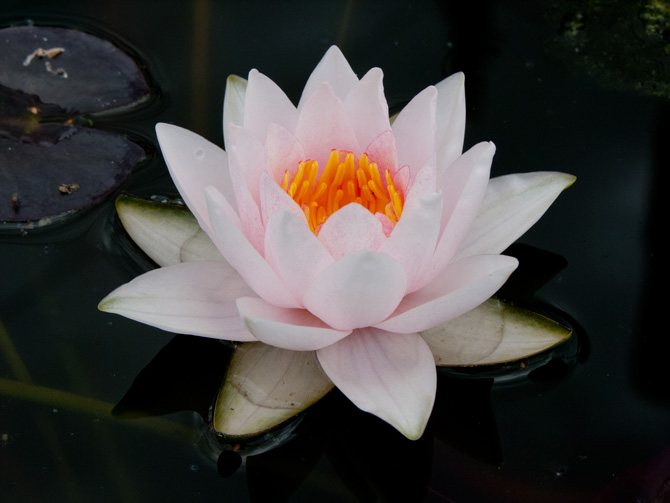 Nymphaea Mary
