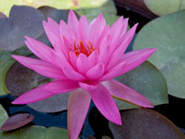Nymphaea Mayla (water lily)
