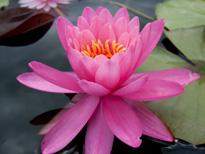 Nymphaea 'Miss Siam'