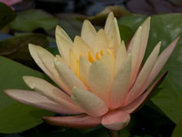 Nymphaea Peace Lily (water lily)