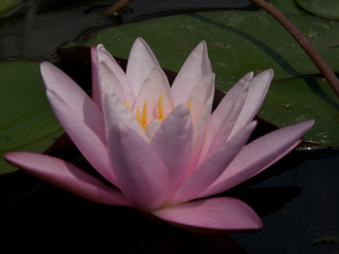 Nymphaea Pink Sensation (water lily)