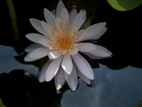 Nymphaea President Viger (water lily)