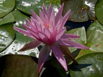 Nymphaea Rose Arey (water lily)
