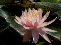 Nymphaea Sunny Pink (water lily)