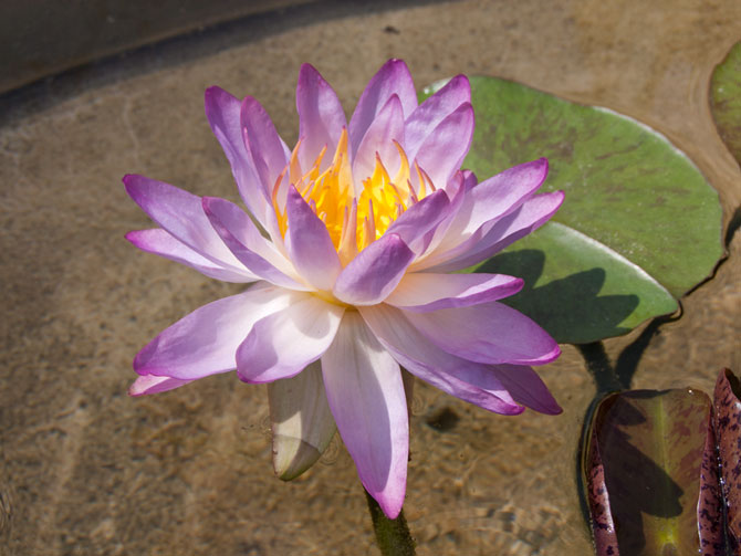 Nymphaea Siam Purple 1 (water lily)