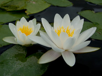 Nymphaea Albatros (water lily)