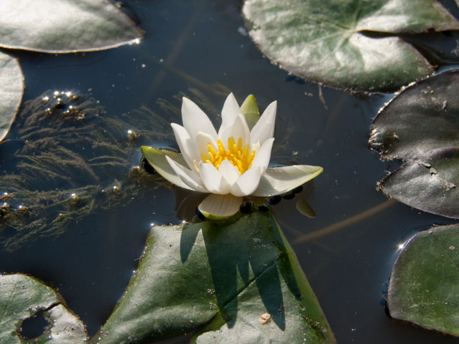 Nymphaea Pygmaea Alba (water lily)