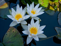 Nymphaea Snow Princess (water lily)