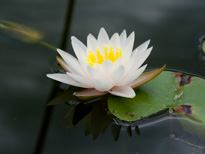 Nymphaea Walter Pagels (water lily)