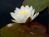 Nymphaea White Sultan (water lily)