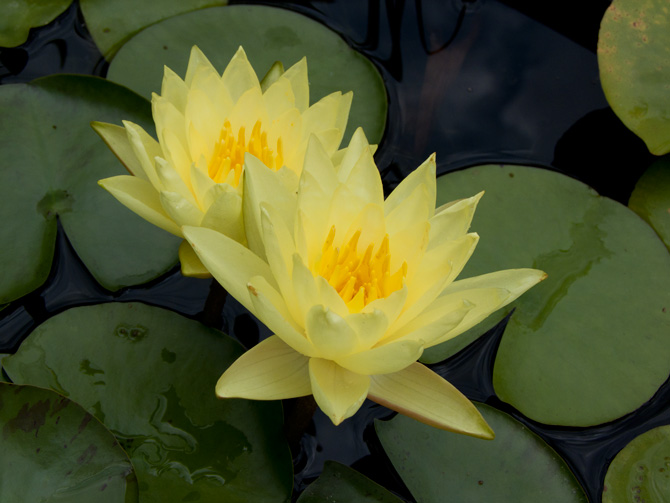 Nymphaea Charlene Strawn (water lily)