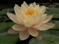 Nymphaea Clyde Ikins (water lily)