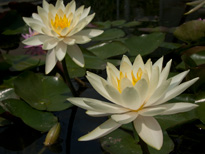 Nymphaea Inner Light (water lily)
