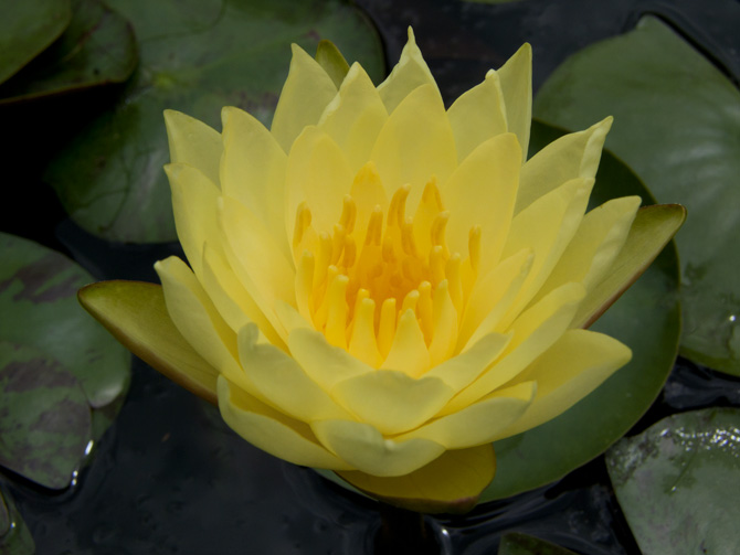 Nymphaea Joey Tomocik (water lily)