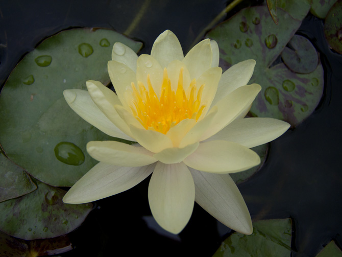 Nymphaea Marliacea Chromatella (water lily)