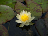 Nymphaea Pygmaea Helvola (water lily)