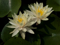 Nymphaea Texas Dawn (water lily)