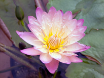 Nymphaea Afterglow (water lily)