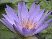 Nymphaea August Koch (water lily)