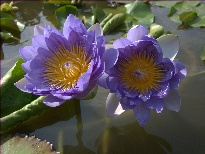 Nymphaea Aussie Blue (water lily)