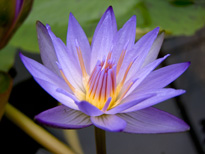Nymphaea Blue Beauty (water lily)