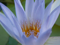 Nymphaea Caerulea (water lily)