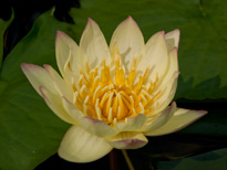 Nymphaea Carla's Sonshine (water lily)