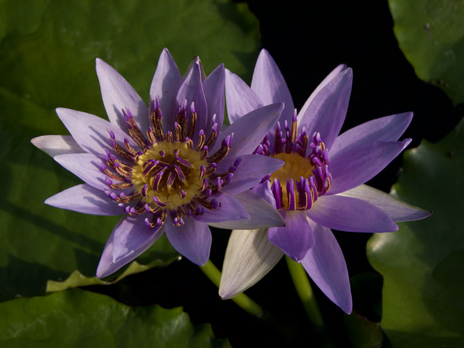 Nymphaea Colorata (water lily)