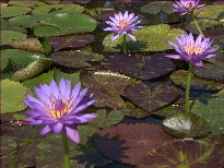 Nymphaea Daniel (water lily)