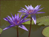 Nymphaea Director George T. Moore (water lily)