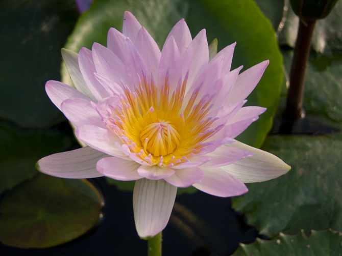 Nymphaea General Pershing (water lily)