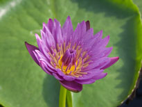 Nymphaea Jack Wood (water lily)
