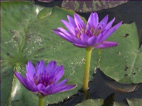 Nymphaea King Of The Blues (water lily)