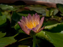 Nymphaea Kit's Golden Cup (water lily)