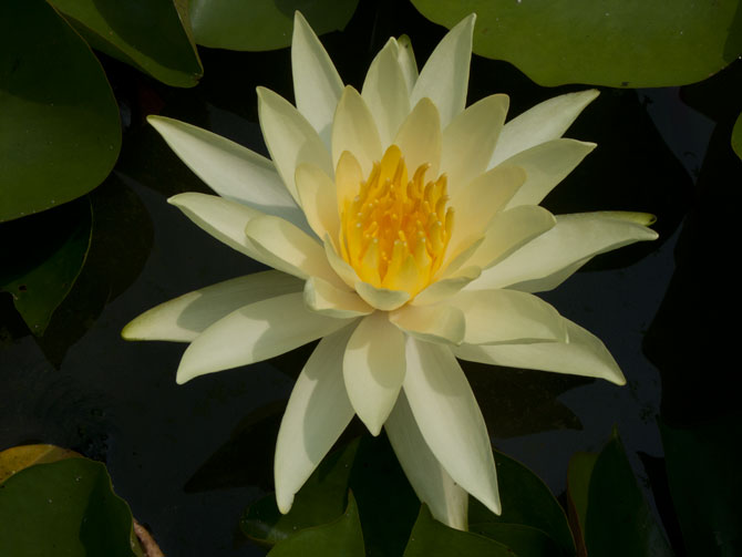 Nymphaea Mexicana (water lily)