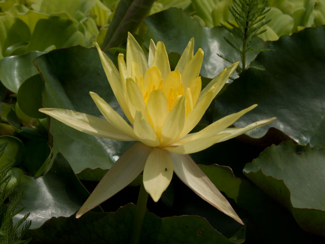 Nymphaea Mexicana f. Canaveralensis (water lily)