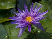 Nymphaea Midnight (water lily)