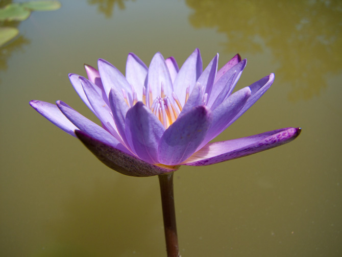Nymphaea Panama Pacific (water lily)