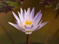 Nymphaea Queen of Siam (water lily)
