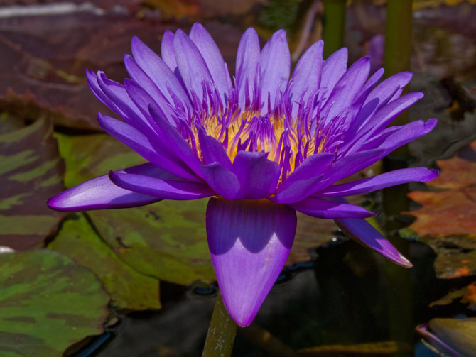 Nymphaea Tanzanite (water lily)