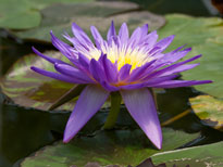 Nymphaea Ultra Violet (water lily)