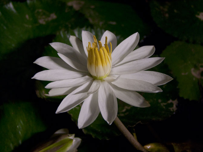 Nymphaea lotus (water lily)
