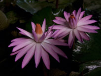 Nymphaea pubescens (water lily)