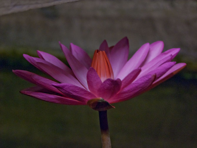 Nymphaea Rubra (water lily)